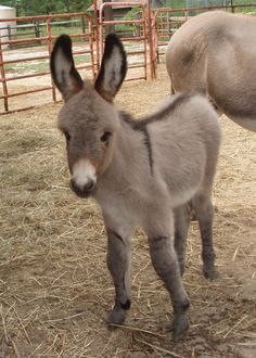 I have always had an obsession with miniature donkeys.and this baby mini donkey is absolutely adorable! pets-i-wish-i-could-have Baby Donkey, Cute Donkey, Mini Donkey, Baby Cows, Baby Elephants, Farm Animals, Animals And Pets, Cute Animals, Wild Animals