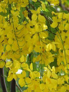 golden shower tree, maui