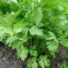 Snijselder (Apium graveolens var. secalinum) is een tweejarige plant met een bossige groei uit de schermbloemenfamilie. Het blad heeft een lekker sterke aromatische geur en groeit na het afsnijden terug aan. In de keuken wordt snijselder gebruikt in gemengde salades, bouillons, bij kip en bij eieren. Niet meekoken! Het zaad van selder is zeer aromatisch en komt in de buurt van venkelzaad. Ik vind het een bijzonder handige plant, je blijft er het hele seizoen zoet mee :)