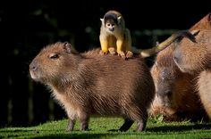 Squirrel Monkeys and Capybara. Photos by Supervliegzus