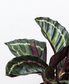 Why are the leaves on my Calathea curling? - Bloomscape...