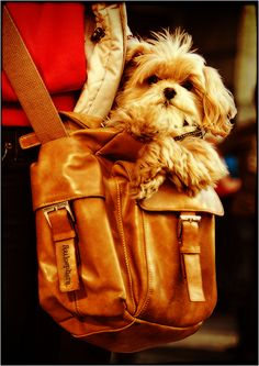 The Portable Puppy -An Adorable Accessory