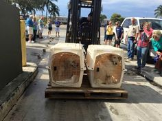 18 rescued Golden Retrievers saved from streets of Istanbul arrive in Miami-slide0