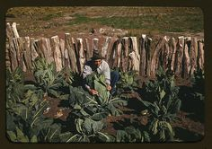 Mr. Leatherman, a homesteader, tying up cauliflower, Pie Town, New Mexico, October 1940.