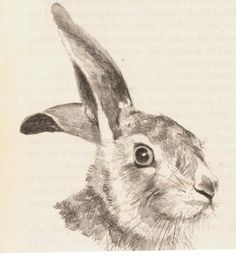 hare drawing - Google Search