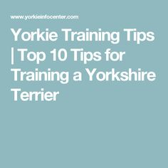 Yorkie Training Tips | Top 10 Tips for Training a Yorkshire Terrier