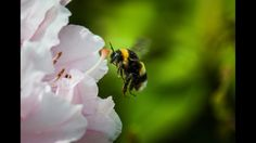 Hovering Humblebee  #hover #humblebee #spring #insects