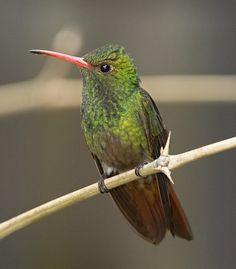 Amazilia Colirrufo, Rufous-tailed Hummingbird (Amazilia tzacatl) 39 by jjarango, via Flickr