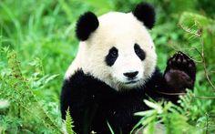 ¿Que es raiola manda y no el panda?