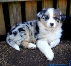Discover The Australian Shepherd Puppies Personality Australian Shepherd Puppies, Aussie Puppies, Cute Dogs And Puppies, Baby Puppies, I Love Dogs, Doggies, Cute Dogs Breeds, Dog Breeds, Australian Shepherds