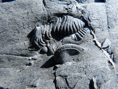 Trilobite and Coral; Fossils Early Silurian, 440-420 million years ago