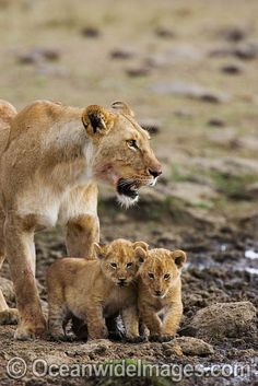 Lion cubs with mother