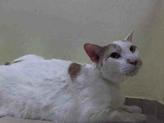 TO BE DESTROYED 4/17/14 ** SENIOR ALERT!! Please help save this poor boy whose owner died! **Brooklyn Center  My name is STEPHEN. My Animal ID # is A0996509. I am a neutered male white and org tabby domestic sh mix. The shelter thinks I am about 12 YEARS old.  I came in the shelter as a OWNER SUR on 04/12/2014 from NY 11236, owner surrender reason stated was OWNER DIED