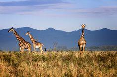 Giraffe by Nikos Kalkounos on 500px