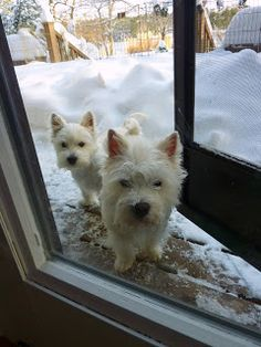 Westie Julep: All In A Day's Snow . . .