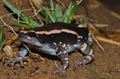 Red And Black Walking Frog