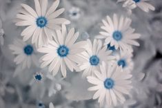 Osteospermum 'Soprano White,' or African daisy has the pure white petals and blue center that gave rise to the common name of Blue-Eyed Daisy.