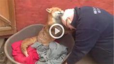 A felicidade desta raposa ao ver o homem que a salvou é das coisas mais ternurentas que já viu.