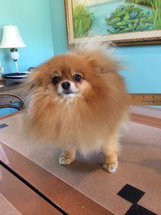 "Pomeranian, He's not Fat, he's FLUFFY, Nutter Butter, 3""of fluffy!"