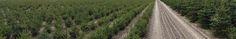 De kwaliteits-kersbomen van Odenneboom.nl op Kwekerij Dingemans Country Roads