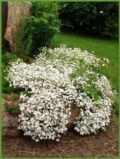 Gypsophila Elegans Baby's Breath Flowers, 1,000 Seeds