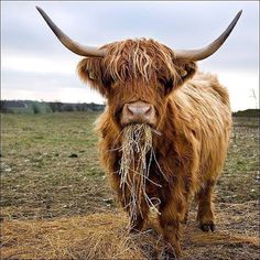 I love these guys. Highland cattle
