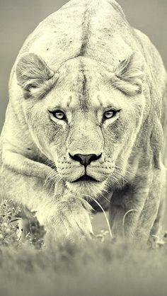 Monochrome Lions