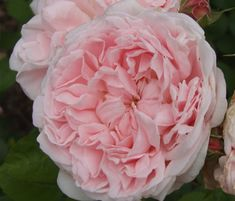 David Austin Roses for Shade | David Austin Roses Archives - Playing With Flowers