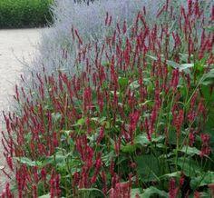 Persicaria amplexicaulis 'Firetail' Duizendknoop