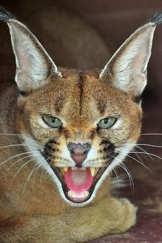 Caracal by Dean Hueber I Love Cats, Big Cats, Cool Cats, Cats And Kittens, Small Wild Cats, Small Cat, Beautiful Cats, Animals Beautiful, Caracal Caracal