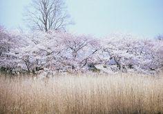 sakura..Zenpukuji-park