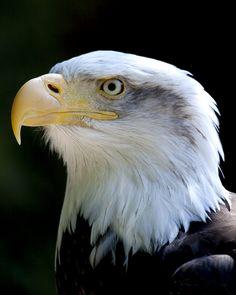 Bald Eagle 1 by 30-noir on deviantART