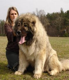 It is a giant and woolly dog that looks very pretty with its fluffy hair. The features of Caucasian Mountain Shepherd Dog or Caucasian Shepherd Dog are very Huge Dog Breeds, Dog Breeds List, Huge Dogs, Worlds Biggest Dog, Caucasian Shepherd Dog, Anatolian Shepherd, Shepherd Dogs, Russian Bear Dog, Chinese Dog