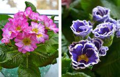 Rosa 'Suze' och blå 'Sirococco' är primulanyheter för året