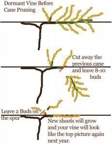 Clear And Simple Diagram For Grapevine Pruning A Grape Vine