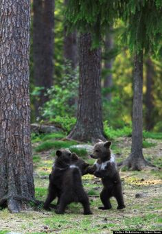Bear Cubs Play Ring Around The Rosie, And We All Fall Down From Cuteness Overload (PHOTOS)
