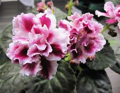 African Violet 'Frosty Cherry' is a Russian standard with changeable burgundy and white flowers - mostly red in summer, more white in winter.  Semi-double.  Very pretty.  Plant or leaves are available.