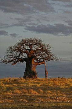 That is a giraffe! That is one huge tree!