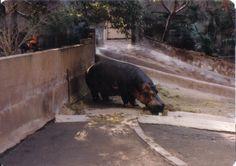 Hippo enclosure, 1984