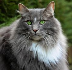 Blue Sven (Norwegian Forest Cat) What a beauty!