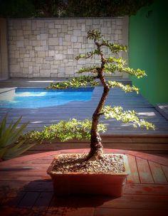 Yatsubusa Elm, Moyogi Style