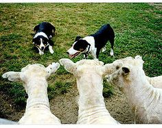 For my (eventual) Border Collie to learn how to herd my (eventual) sheep.