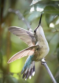 Humming bird  https://www.pinterest.com/luisfjacome66/natures-tender-creatures-in-her-gardens/