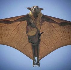 Flying Fox or fruit bat from Australia with baby on board.