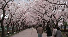 อยากไปชมซากุระญี่ปุ่น 2016 เช็คให้ชัวร์ก่อนวางแผนเที่ยว