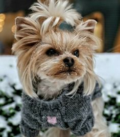 Yorkie Poo Haircut, Yorkie Cuts, Yorkie Haircuts, Cute Baby Puppies, Puppies And Kitties, Cute Baby Animals, Cute Dogs, Doggies, Yorky Terrier
