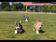Here's What Happened When Six Corgi Puppies Visited a College Campus