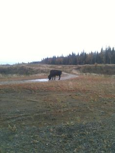 This bull bison was in the back yard, near Grayling