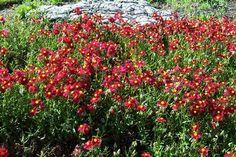 helianthemum nummularium dazzler - Google Search