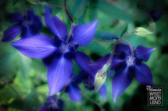Blue Columbine Greeting Card by DenWestPhotography on Etsy